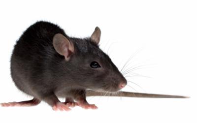 Blog community - Come uccidere i topi in casa ...